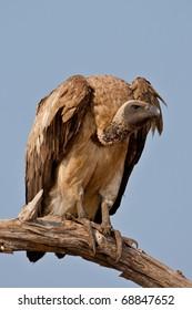 White-Backed Vulture, Chobe National Park, Botswana