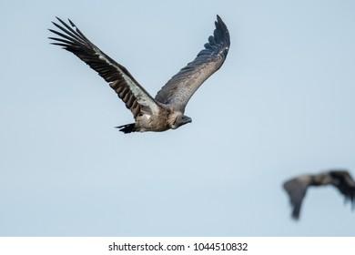 White-backed vulture in flight in Masai Mara Game Reserve, Kenya