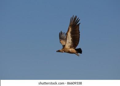 White-backed Vulture flying in Kruger National park, South Africa
