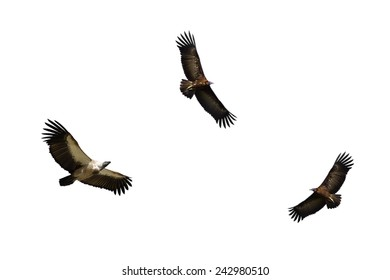 White-backed Vulture and Hooded Vulture in Flight