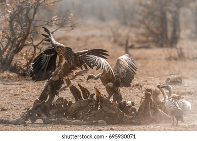 White-backed Vulture and Lappet-faced Vulture in Kruger national park, South Africa ;  Specie Gyps africanus and Torgos tracheliotos family of Accipitridae