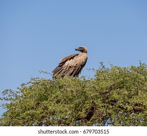 A White-backed Vulture perched in a tree in Southern African savanna