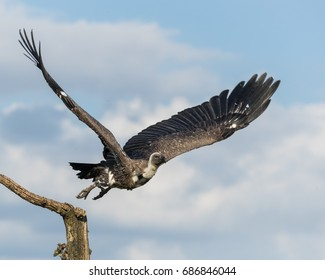 White-backed Vulture taking off (in flight) from a branch with blue cloudy sky in the background.