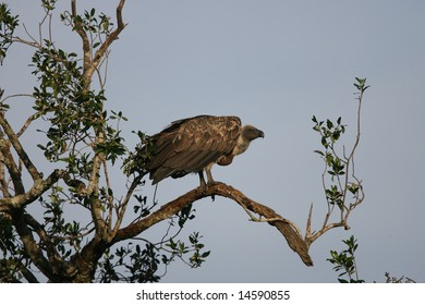 White-Backed Vulture in tree