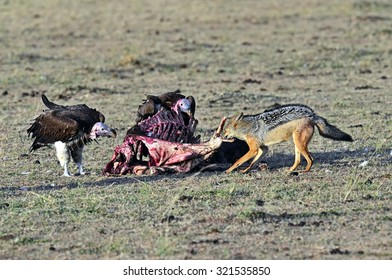 White-backed vultures (Gyps africanus) scavenging on a carcass