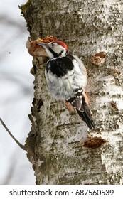 White-backed Woodpecker (Dendrocopos leucotos).Russia, Moscow, Timirjazevsky park. male