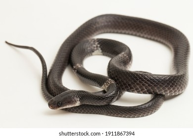white-banded wolf snake or Malayan banded wolf snake (Lycodon subcinctus) on white background