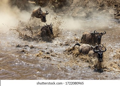 White-bearded Wildebeest crossing the Mara River during the annual Great Migration. About one and a half million wildebeest make this treacherous journey between Tanzania and Kenya each year