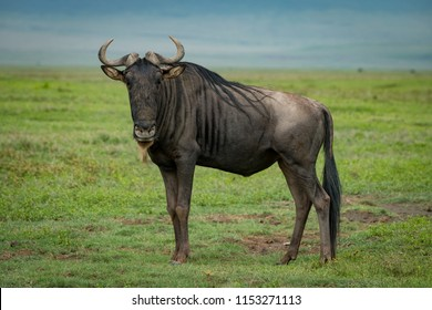 White-bearded wildebeest on grassland staring at camera
