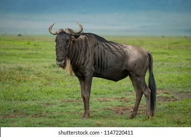White-bearded wildebeest on savannah staring at camera