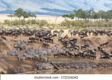 White-bearded wildebeest and plains zebra gather on the banks of the Mara river during the annual great migration, Masai Mara, Kenya.
