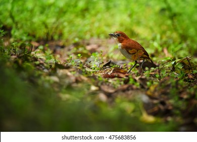 White-bellied Antpitta, Grallaria hypoleuca, small and well camouflaged south american bird on the ground, looking for worms. Ecuador, Andes.