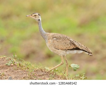 White-bellied Bustard (Eupodotis senegalensis) in the Serengeti National Park