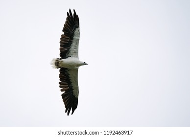 White-bellied Fish-eagle - - Haliaeetus leucogaster  flying over the lake in Thailand National Park