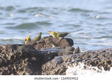 White-bellied green-pigeon (Treron sieboldii) flocks in Japan