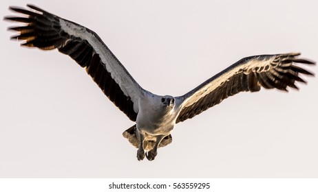 White-bellied sea eagle during sunset