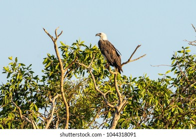 White-bellied Sea-Eagle bird (Haliaeetus leucogaster) sitting in a tree, Yellow Waters, billabong, Kakadu National Park, Northern Territory, Australia, October, 16, 2016