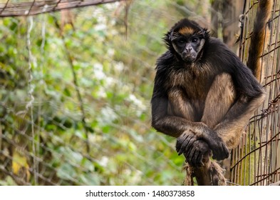 White-bellied spider monkey perched on a branch