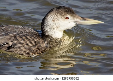 White-billed Diver, (also known as Yellow-billed Loon, Gavia adamsii), first-winter, Copperhouse Creek, Hayle, Cornwall, UK.