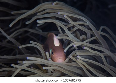 A White-Bonnet anemonefish, Amphiprion leucokranos, is found in Papua New Guinea. The tropical islands in this region are home to extraordinary marine biodiversity and are part of the Coral Triangle.