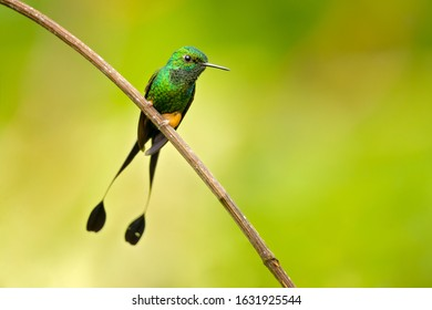 White-booted racket-tail (Ocreatus underwoodii) is a species of hummingbird. It is found in the Andean cordillera of northern Venezuela, western Colombia, and on the eastern slope of Andes in Ecuador