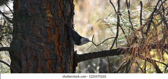 a White-breasted Nuthatch bird