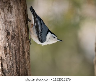White-Breasted Nuthatch bird in its surrounding.