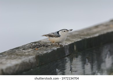 A white-breasted nuthatch finds a sunflower seed at Kensington Metropark, near Milford, Michigan.