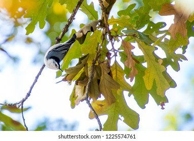 A white-breasted nuthatch hanging on leaf covered oak tree branch in the morning