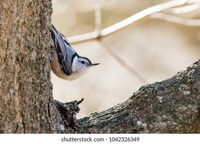 A White-breasted Nuthatch on alert while making its way down a tree trunk.