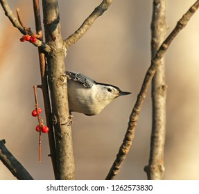 White-Breasted Nuthatch Perched on Branch