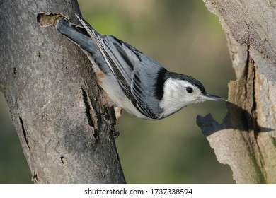A white-breasted nuthatch perched on a branch.