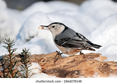 A white-breasted nuthatch perched on a branch after a snow storm.
