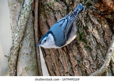 White-breasted Nuthatch (Sitta carolinensis) on the trunk of a tree in the winter.