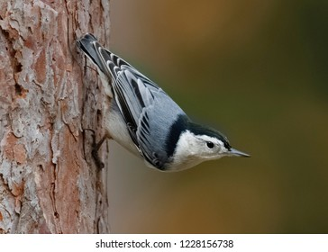 White-breasted Nuthatch (Sitta carolinensis) perched on a red pine tree - Ontario, Canada