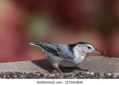A White-breasted Nuthatch (Sitta carolinensis)  picks a sunflower seed from a bird feeder.  Nuthatches are frequent visitors to winter bird feeders stocked with suet and sunflower seeds.