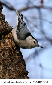 White-Breasted Nuthatch songbird perched on a maple tree in winter.