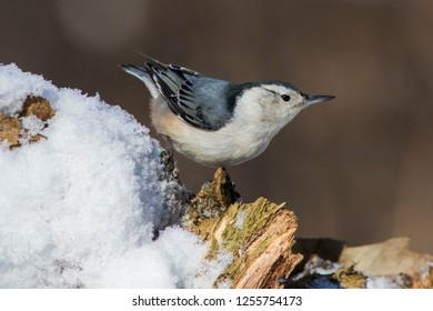 White-breasted Nuthatches in winter