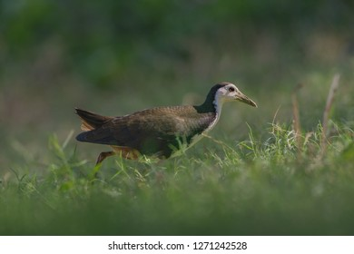 White-breasted waterhen (Amaurornis phoenicurus). Adult white-breasted waterhens have mainly dark grey upperparts and flanks, and a white face, neck and breast.