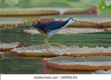 The white-breasted waterhen (Amaurornis phoenicurus) is a waterbird of the rail and crake family, Rallidae, that is widely distributed across South and Southeast Asia.