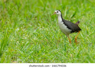 White-breasted Waterhen walking on green field looking into a distance