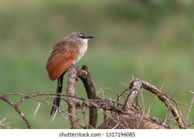 White-browed Coucal in Tanzania