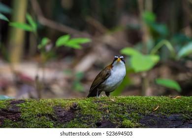 White-browed Scimitar-babbler (Po matorhinus schisticeps) bird in nature