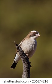 White-browed sparrow weaver; Plocepasser mahali