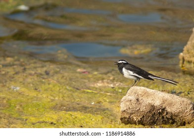 White-browed wagtail (Motacilla maderaspatensis) calling. Hiran river. Sasan Gir. Gujarat. India.