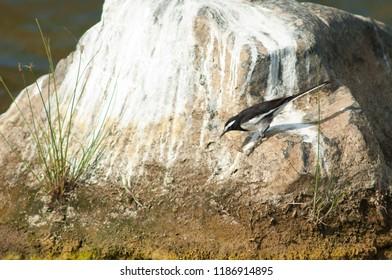 White-browed wagtail (Motacilla maderaspatensis). Hiran river. Sasan Gir. Gujarat. India.