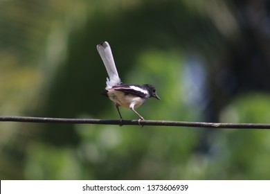 White-browed wagtail, Quite a restless bird Background and Wallpaper for PC and Android Phone.