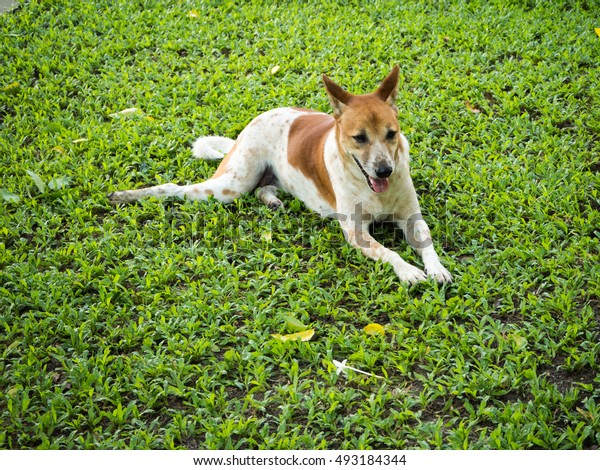 white-brown dog in the garden, have a big smile, Thai dog