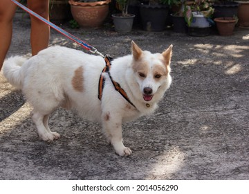 A white-brown dog is stanging on cement floor with dog leash and his owner.