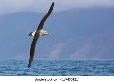 White-capped albatross in flight off the coast of New Zealand